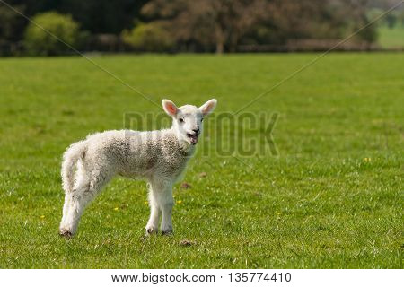 isolated bleating newborn lamb standing on meadow