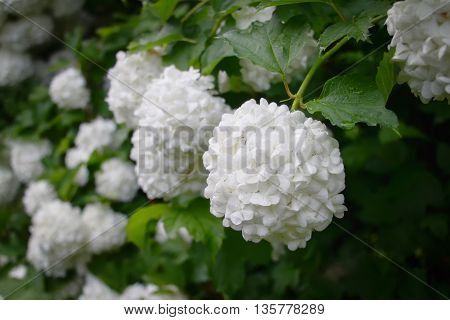 Vibúrnum Roseum bloomed beautiful white globular flowers in the village.