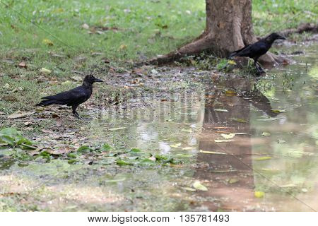 Crow or DAW standing on lowland areas of public park and Seeking the foods.