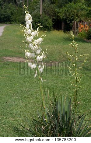 The yucca (yucca filamentosa) of park and garden ornament.
