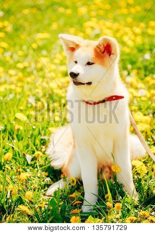 Akita Inu Dog, Japanese Akita Puppy Sitting In Green Grass Outdoor