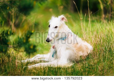 White Gazehound Hunting Dog Sit Outdoor In Summer Meadow Green Grass.
