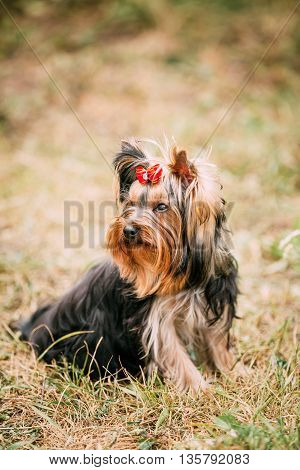 Funny Cute Yorkshire Terrier Small Dog Outdoor