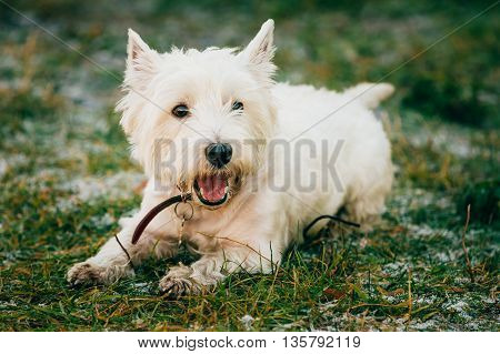 West Highland White Terrier - Westie, Westy Dog Play in Grass