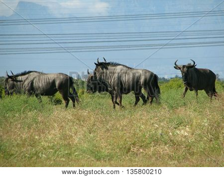 Blue Wildebeest, Koeburg Nature Reserve, Cape Town South Africa 02