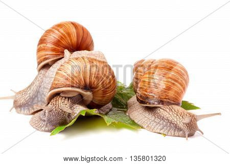 Three snail crawling on the grape leaves on a white background.