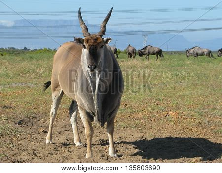 Eland Bull, Koeburg Nature Reserve, Cape Town South Africa