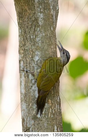 Gray headed woodpecker (Picus canus) on the tree
