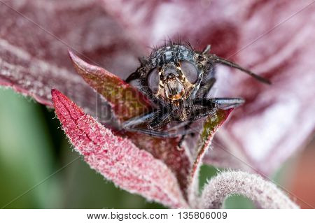 Macro Head Shot Of A House Fly (blue Bottle Fly)