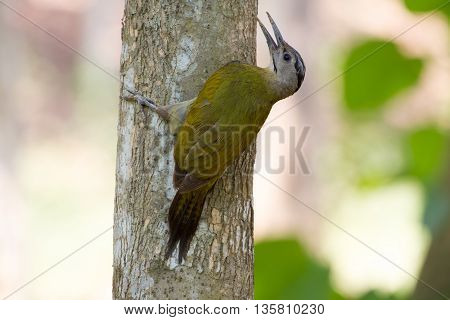 Grey-headed Woodpecker On The Tree