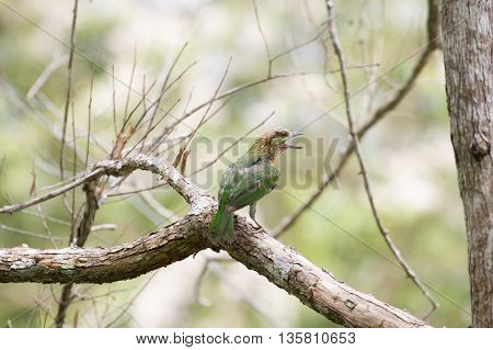 Picture Of Green-eared Barbet