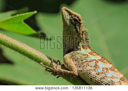 Green crested lizard black face lizard tree lizard on tree