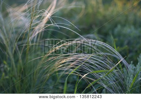 Feather Grass In Wind At Sunset In The Green Field.