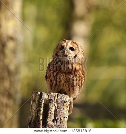 Portrait of a Tawny Owl perched on a tree stump