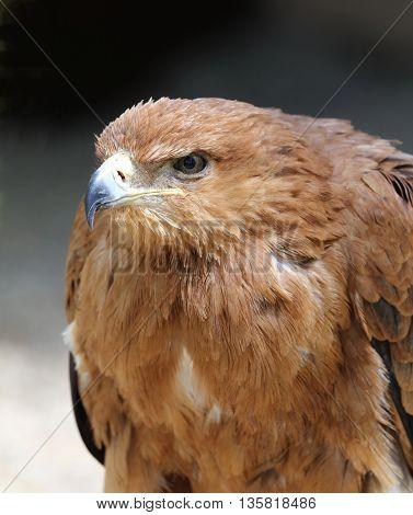Close up of a female Tawny Eagle