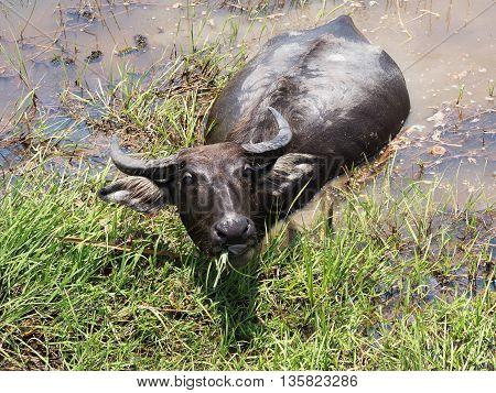 Buffalo. Thai Water Buffalo animal grazing in marshy swamp area in upcountry.