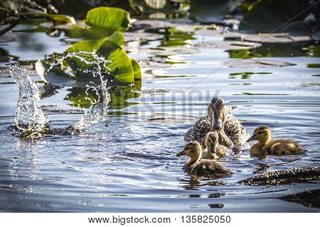 Adult mallard duck and ducklings (Anas platyrhynchos) floating and splashing in pond