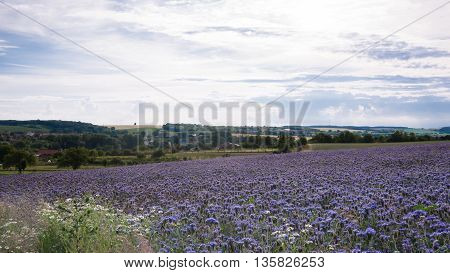 Field of Phacelia flowers at summer in the countryside