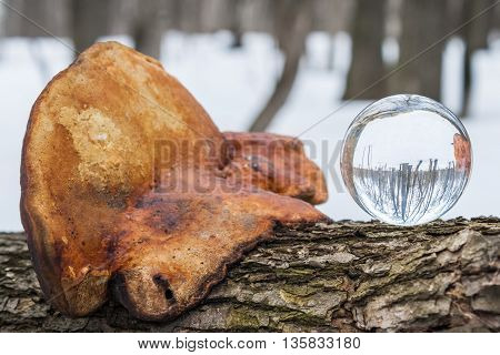 Environment concept. Crystal ball lies in the forest on a tree next to the tinder fungus.