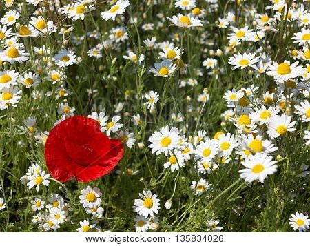 Wildflowers Poppies And Daisies, Spring Rhoeas