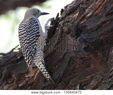 Gila woodpecker keeping an eye out for predators in the Sonoran Desert.
