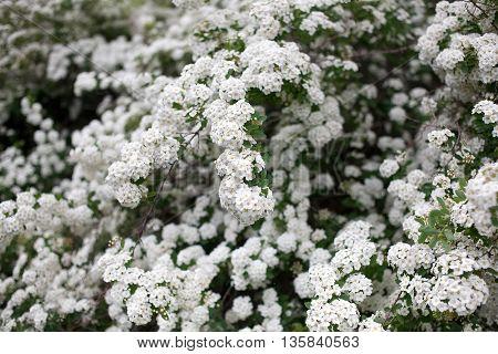 White decorative flower shrubs in the public Botanical Garden of the city of Krivoy Rog in Ukraine