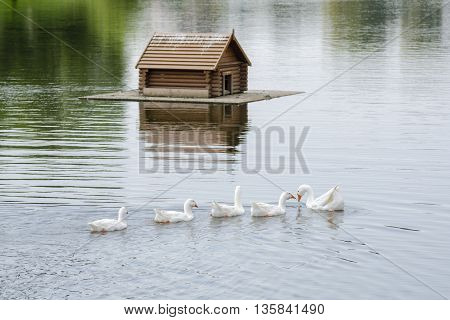 A Flock Of Swans Swimming On The Lake In The Background Floating House For The Birds
