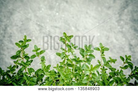 Closeup Lemon Thyme Leaves From The Herb Garden. Thymus Citriodorus (lemon Thyme Or Citrus Thyme) Sp
