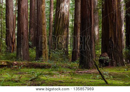 Giant Coast Redwood Trees Tower Over The Forest Floor. Redwood National Park, Humboldt ,California