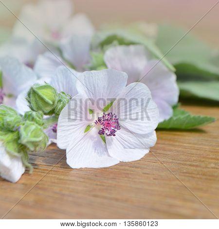 Marshmallow Flower. Althaea
