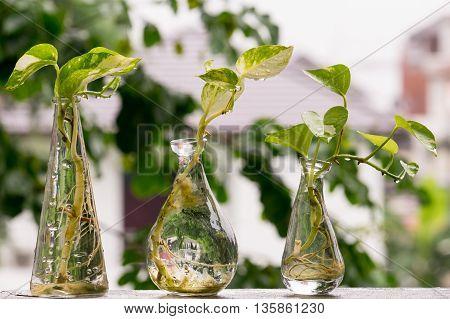 Drop of water on Golden Pothos or Devil's Ivy in the bottle.