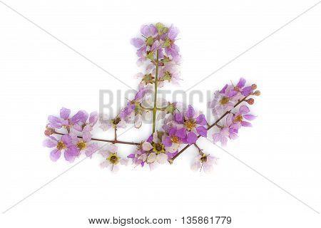 Lagerstroemia floribundaPurple flowerCananga flower (Cananga odorata) annonaceae Queen's Flower on a white background.