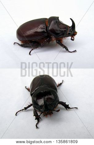 Rhinoceros beetle Oryctes nasicornis from two perspectives