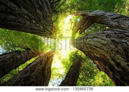 Giant Redwoods Reach Toward the Sky on a Sunny Day. Humboldt Redwood National Park, California, USA