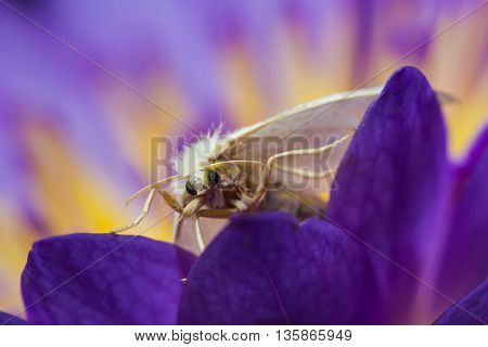 a white cute moth on purple lotus
