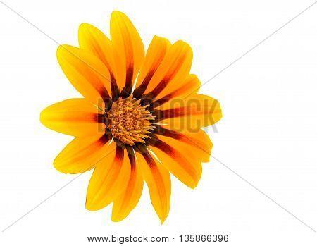 yellow Gazania flower isolated on white background