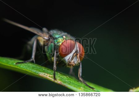 Close up of a green fly on a green leaf,Fly is carrier of diarrhea,Macro of a green fly