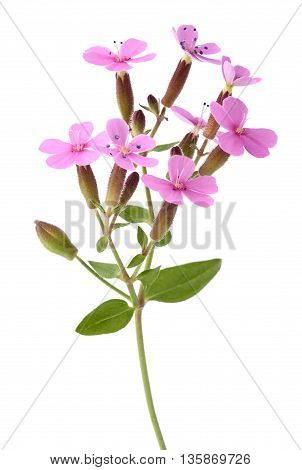 Common Soapwort (saponaria Officinalis)