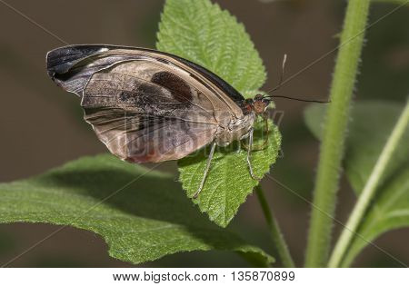 Grecian Shoemaker Butterfly on a leaf, close up