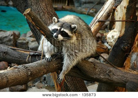 racoon in zoo. poster