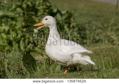 Pekin Duck, On The Grass, Close Up, Quacking