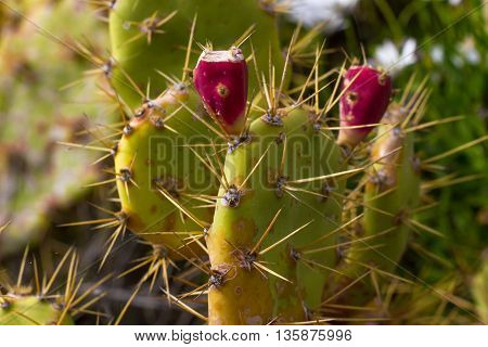 Wild bushes cactus Opuntia ficus-indica sabra . Fruits of prickly pear cactus