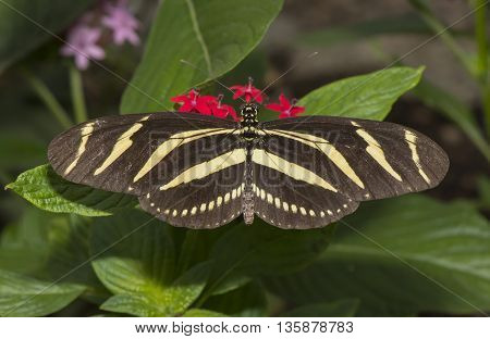 Zebra longwing Butterfly on a flower, close up