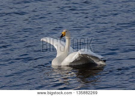 Whooper Swan Swimming