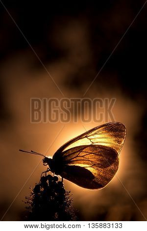 Butterfly with semitransparent wings on a flower backlit.