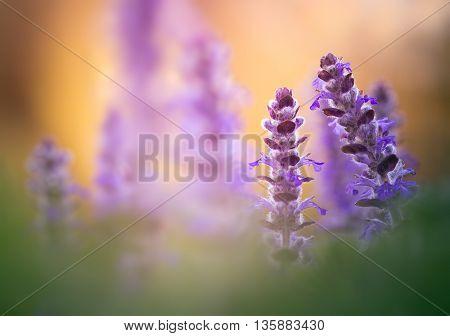 Postcard with flowers at dawn ajuga. Close-up