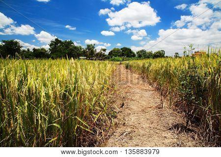 Paddy Field Field At Harvest