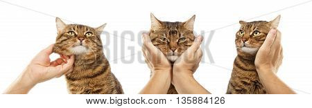Different poses of striped cat with human hands isolated on white background