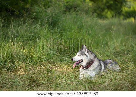 Siberian Husky lies in the grass. Dog tired after a long run. Siberian Husky in the wild nature.