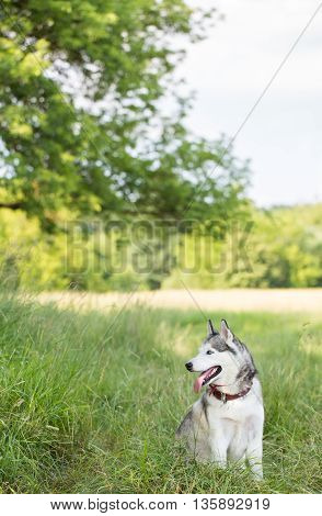 Siberian husky on a walk. Dog sits in shade of the trees. Dog in the wild nature.